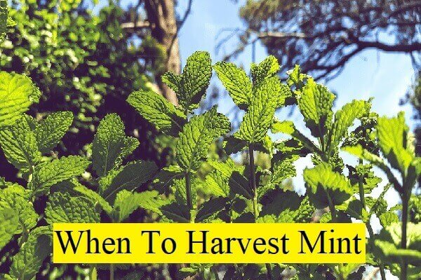 when to harvest mint
