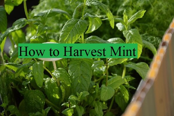 how to harvest mint top tips